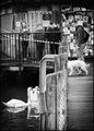 swans & dog