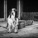 Busker's dog