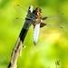 .:Vážka ploská:.
