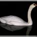 zrkadlenie labute