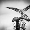 ... falcon ...