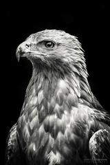 Golden Eagle II.