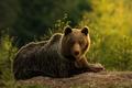 Medved hnedy I.