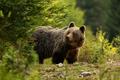 Medved hnedy II.