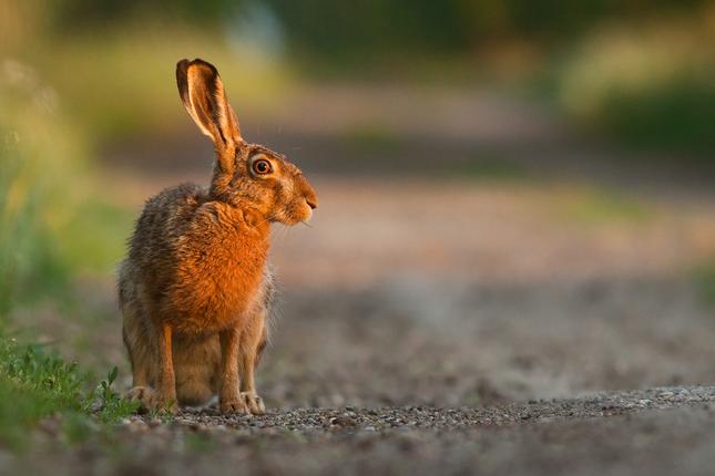 Zajacik