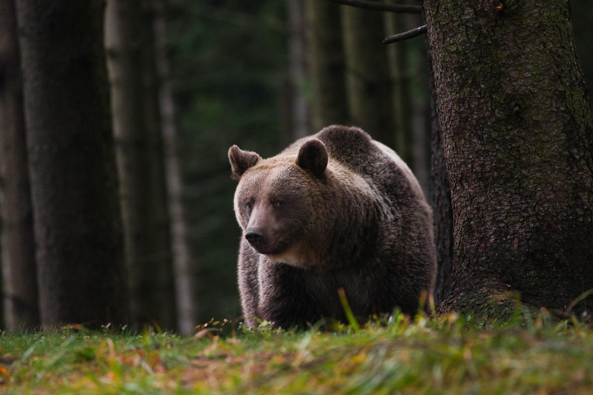 Medved hnedy