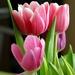 _tulip