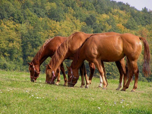 Tri gastanove kone