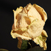 slzy ruže