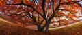 Buk na Báborskej v jesennom šate