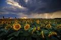 Búrka a slnečnice