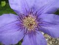 Kvet I