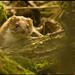 Lasica myšožravá (Mustela nivali