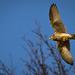 Sokol myšiar (Falco tinnunculus)
