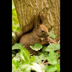 Veverica stromová (Sciurus vulga