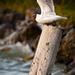 Čajka smejivá (Larus ridibundus)