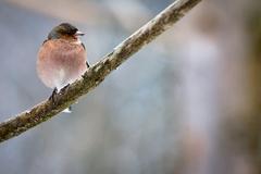 Pinka lesná  (Fringilla coelebs)
