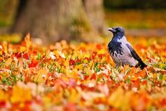 Vrana obyčajná (Corvus corone)
