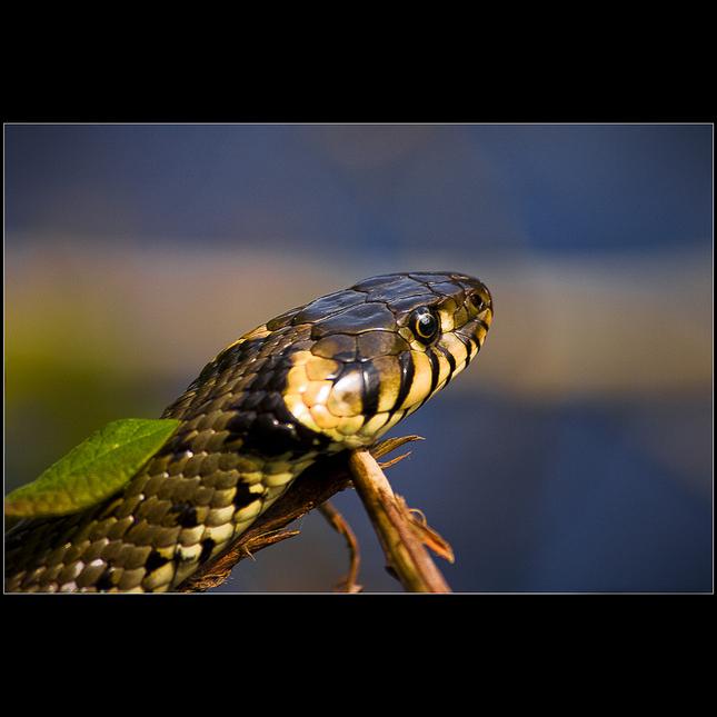 Úžovka obojková (Natrix natrix)