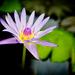 Kvet lekna