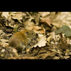 Myš drobná