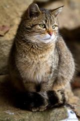 Mačka divá (Felis silvestris)