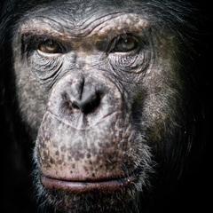 Šimpanz učenlivý