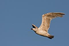 Čajka bielohlavá (Larus cachinna