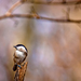 Sýkorka lesklohlavá (Parus palus