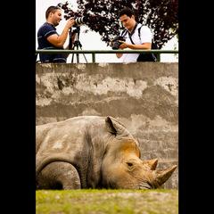 Nosorožec tuponosý (Ceratotheriu