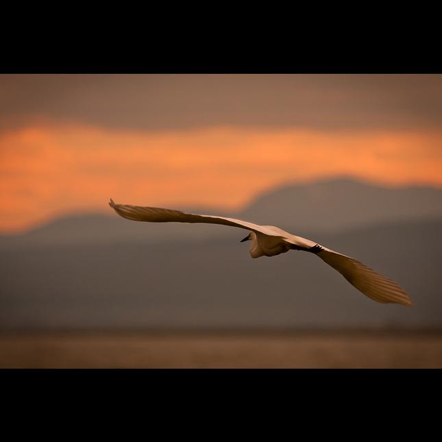 Volavka biela (Egretta alba)