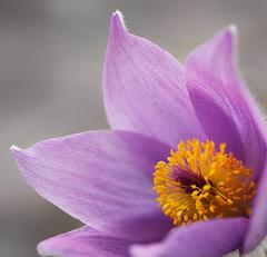 poniklec v rozkvete