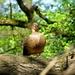 Kacica stromova