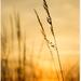 Vecerna trava