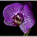 Kvetinka fialova
