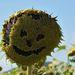Aj slnečnice sa smejú