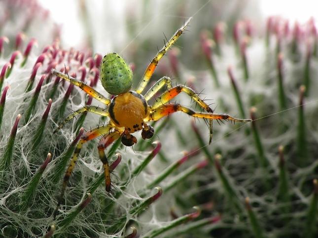 pavúk na lopúchu