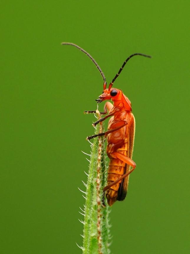červený chrobák