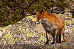 Líška skierlova (tatranská)