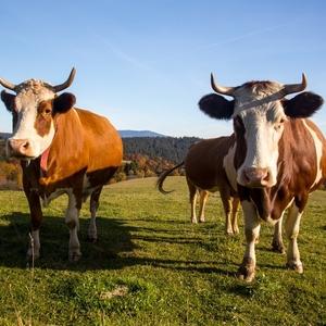 Krava 8 - nohá