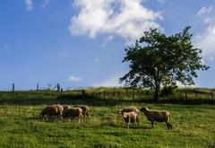Ovečková selanka