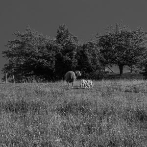Ovečková selanka II