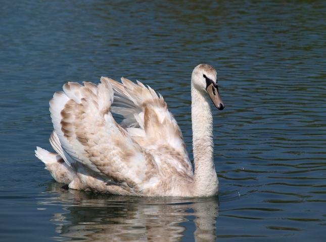 Biela labuť