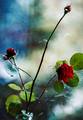 Ruže v okne
