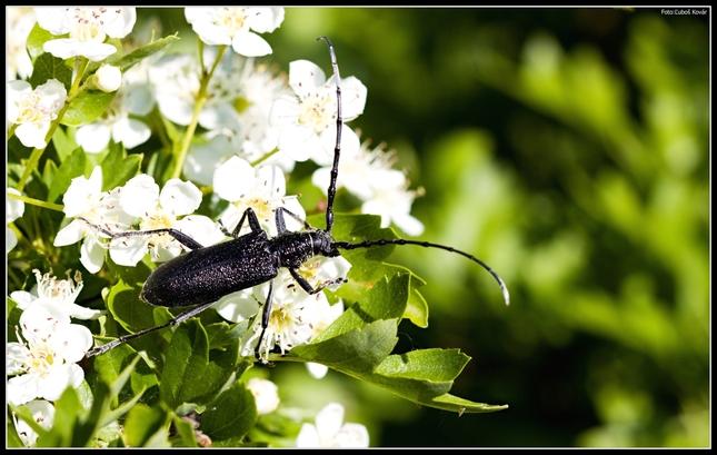 Fuzáč bukový-Cerambyx scopolii