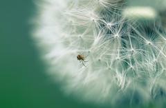 spider &dandelion