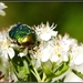 Zlatoň obyčajný-Cetonia aurata