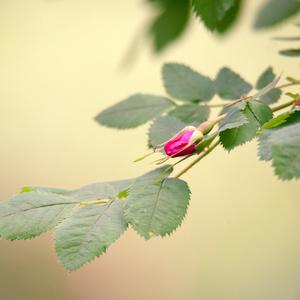 Ružový puk