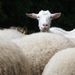 Ja nie som ovca :)