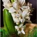 Biely hyacint